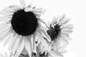 Sunflower in Black n White