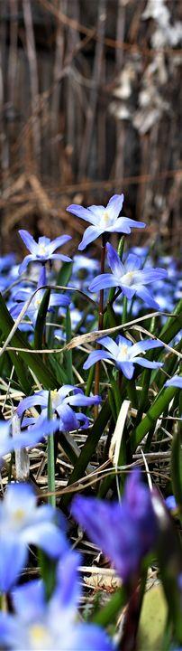 PURPLE  FLOWERS - C.E-GODWIN