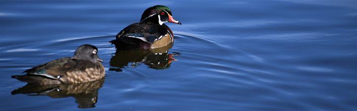 Ducks - C.E-GODWIN