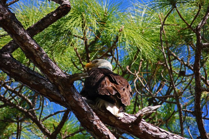 Hatchet Creek Eagle - Photography by Michiale