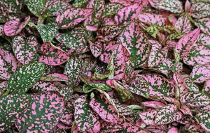 Perfect Pink Hypoestes