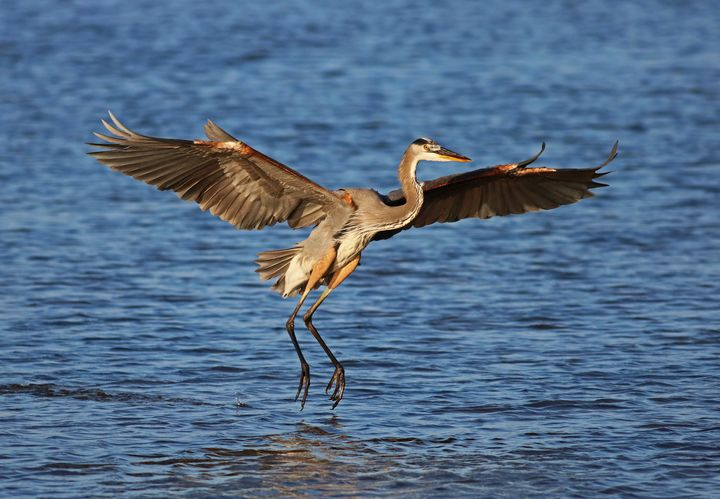Coming in for a Landing at Ding I - Photography by Michiale