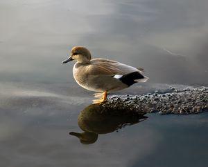 Little Gadwall Duck in the Morning