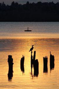 Golden Hour Cormorant