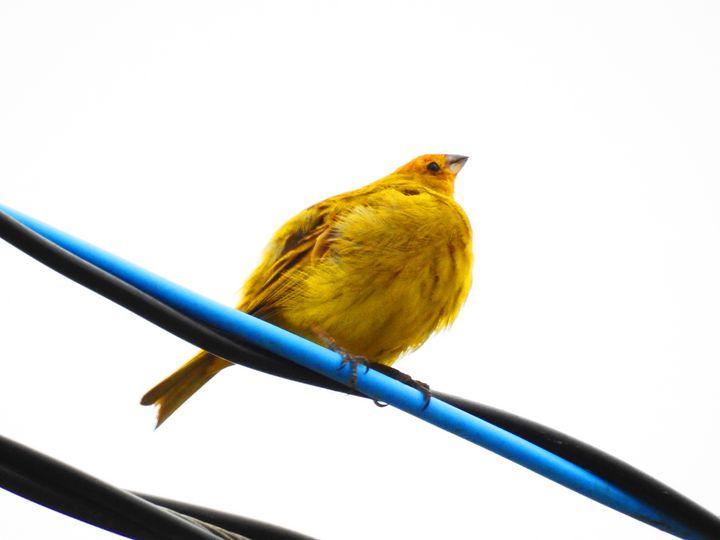 Canary bird - Vitória Azambuja