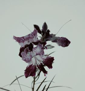 🌺 Iris Roots