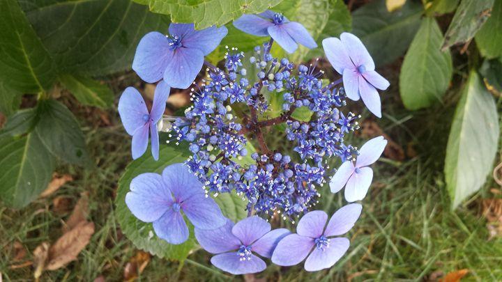 Hydrangea - Kimberly's Kreations