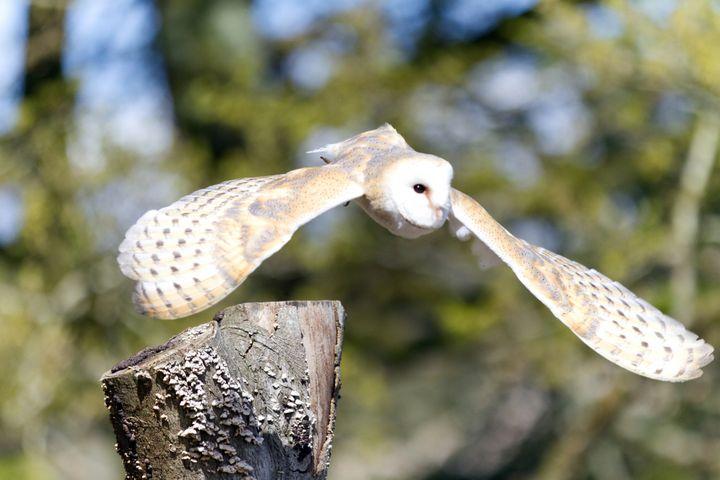 Barn Owl in flight - Dave's Art