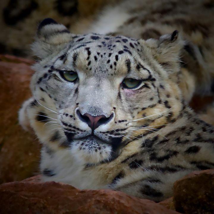 Snow Leopard - Dave's Art
