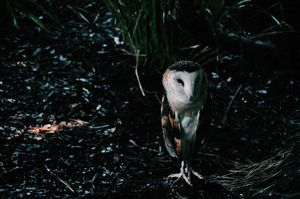 Owl - Hermione Jade