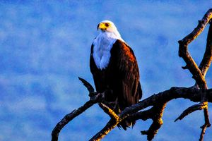 African Fish Eagle in Thick Paint