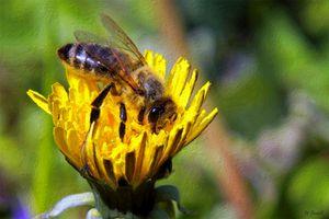 Western Honey Bee By W Joseph