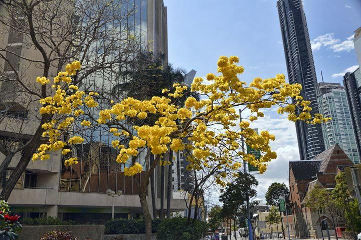 Yellow Blossom Tree - Phillip J GordonPhotography & Art