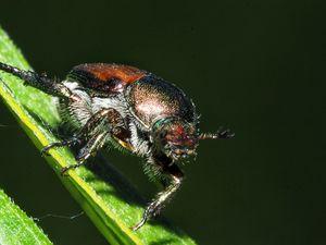 Japanese Beetle - Kansas Girl/Missouri Guy Photos