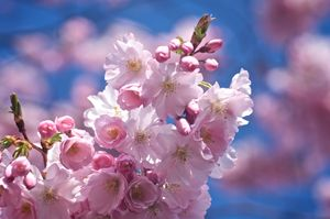 Sakura Spring 2018