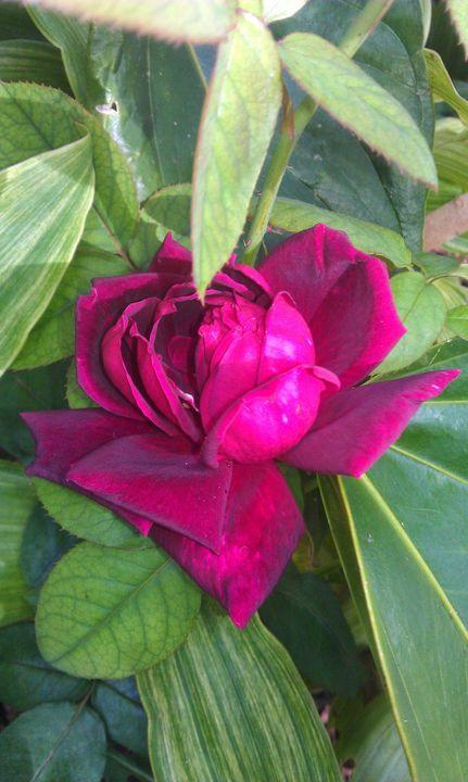 Red Rose - HopesArtGallery