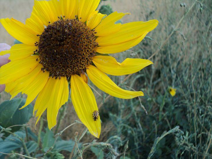 Lady Sunflower - Catherine