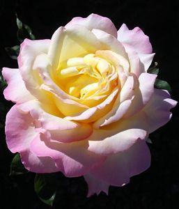 Lady's Rose