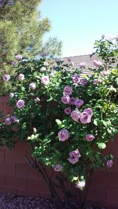 Queen Rose Bush