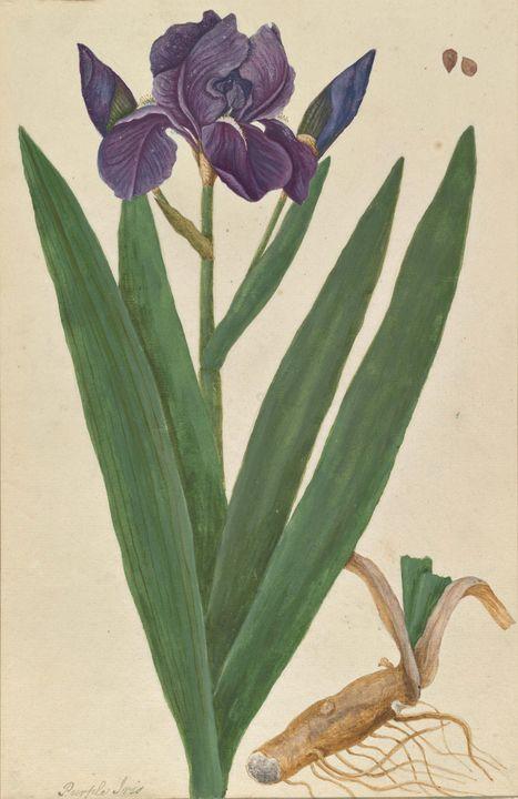 Blackwell Elizabeth~Iris germanica - Old master image