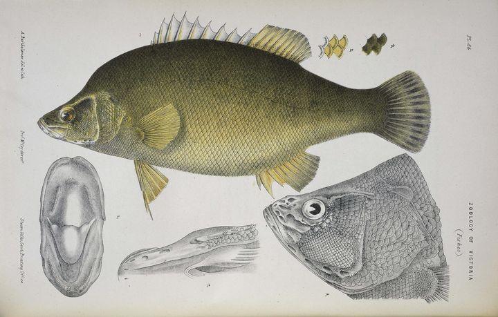 Arthur Bartholomew~Golden Perch, Mac - Old master image