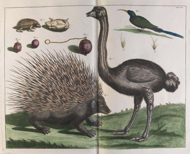 Albertus Seba~Malacca Hedgehog, Erin - Old master image