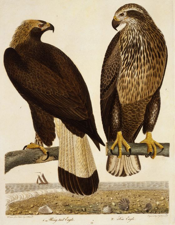 Alexander Wilson~Ring Tail Eagle, Se - Old master image