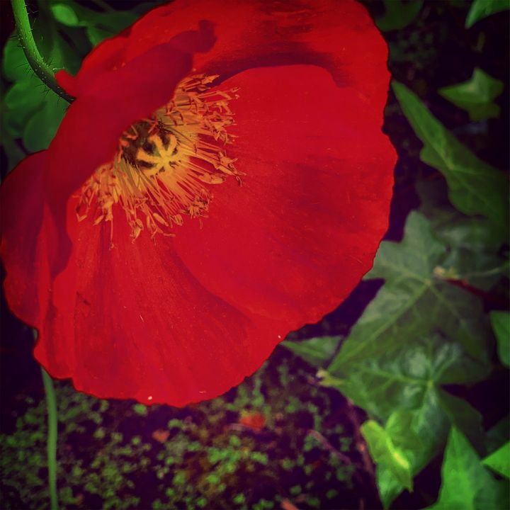 Red Poppy - Daved Thom Images