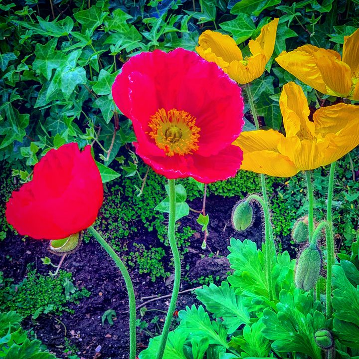 Posing Poppies - Daved Thom Images
