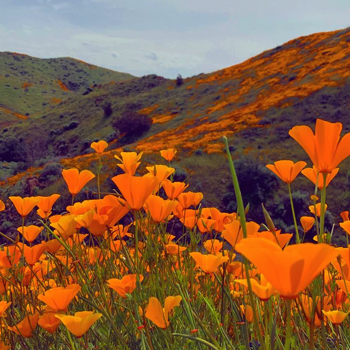 Poppy Galore - Daved Thom Images