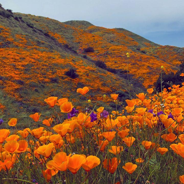Poppy Hillside - Daved Thom Images