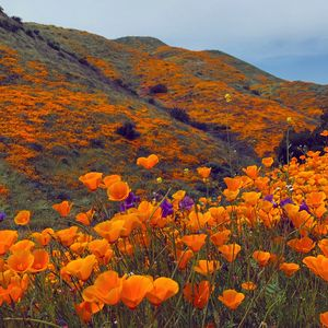 Poppy Hillside