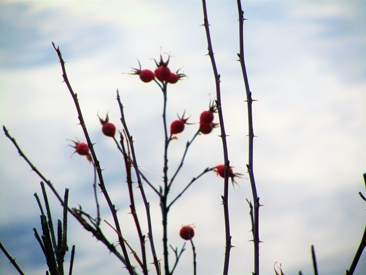 Rose Hips - Amanda Paints LLC