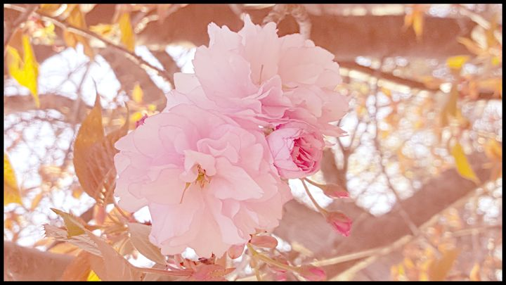 Pink Blossom - Creations of a Seeker of Signs