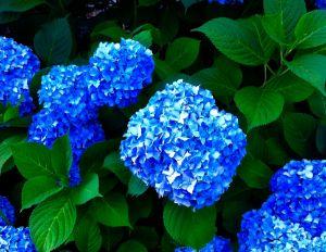Blue Hydrangea - Joseph Thaler Photo Art