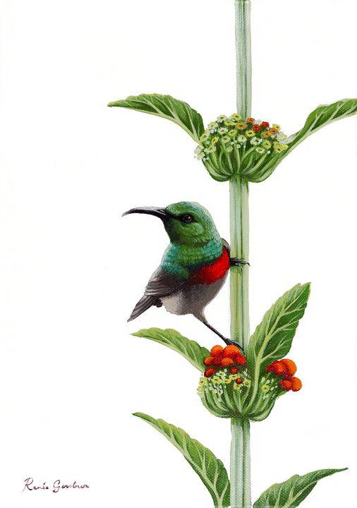 Lesser Collared Sunbird - Renée Gerstner