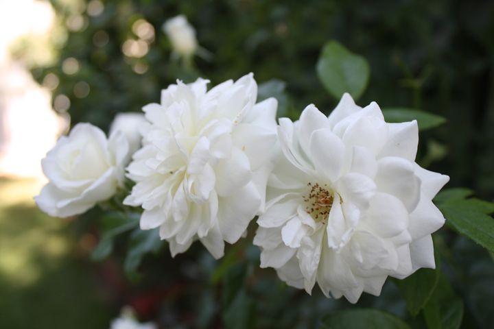 3 Beautiful White Flowers - Lorenzo