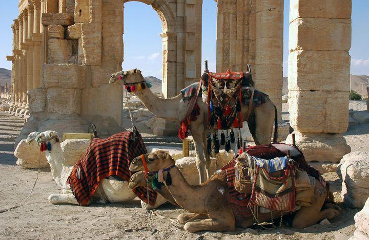 Camels in Palmyra, Syria - Fleur De Lys