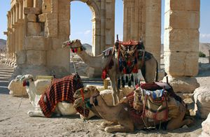 Camels in Palmyra, Syria