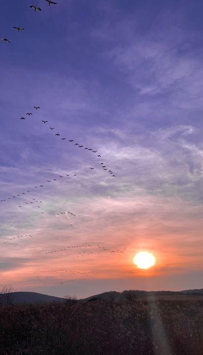 Snow geese at sunset - NatAnat
