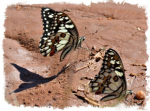 Shadow of the Butterfly