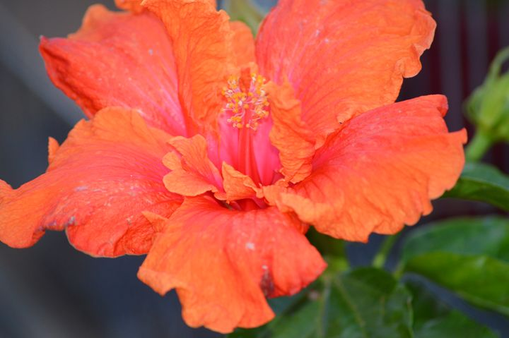 Hibiscus - LynneE