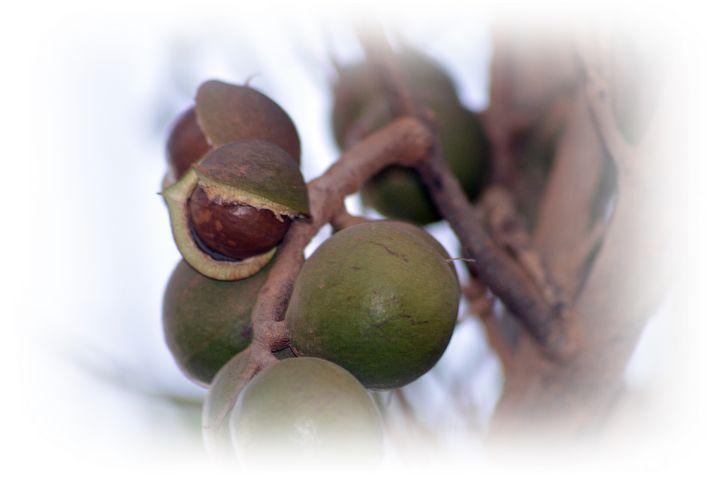 Macadamia - LynneE