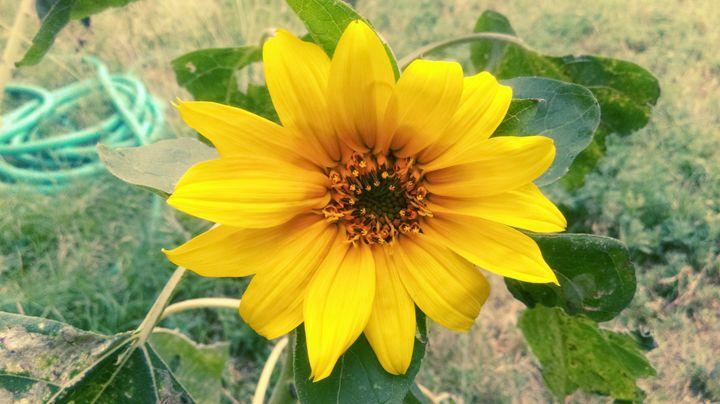 Sunflower - Evarista Herrera