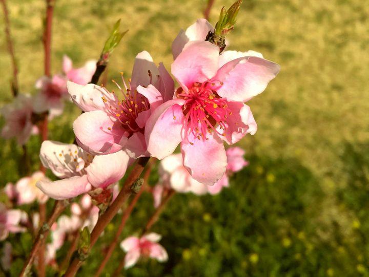 Apple Tree Flowers - Evarista Herrera