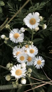 """Chamomile Flowers."""