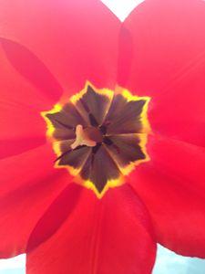 """Dying Tulip."""
