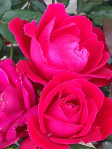 """Pink Rose Blossoms."""