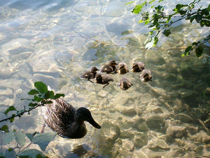 Mother duck with her ducklings - Steven DeVowe