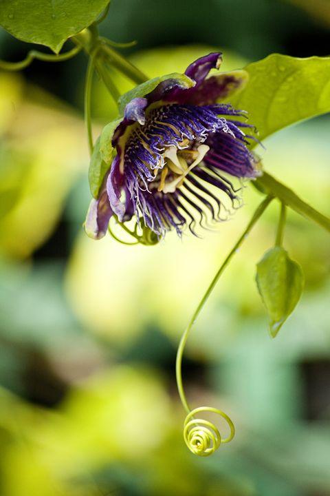 Purple Passionflower: Passiflora Inc - ArtByLaurenBritz